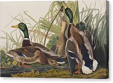 Mallard Duck Canvas Print by John James Audubon