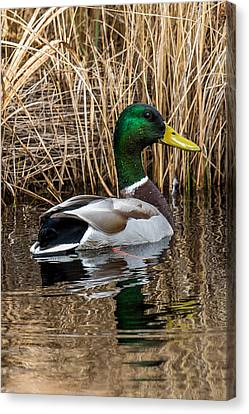 Mallard II Canvas Print by Paul Freidlund