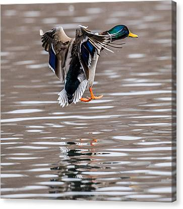 Mallard Incoming Canvas Print by Paul Freidlund
