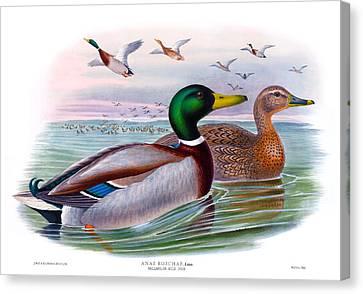 Mallard Or Wild Duck Antique Bird Print Joseph Wolf Birds Of Great Britain  Canvas Print by Orchard Arts