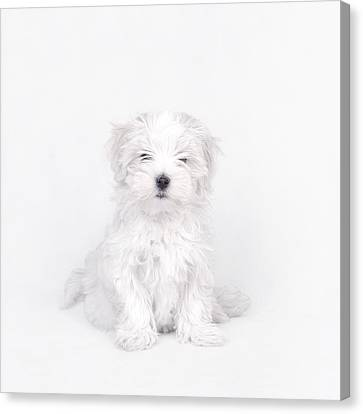 Maltese Dog Puppy Canvas Print by Waldek Dabrowski