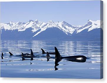 Many Orca Whales Canvas Print by John Hyde - Printscapes