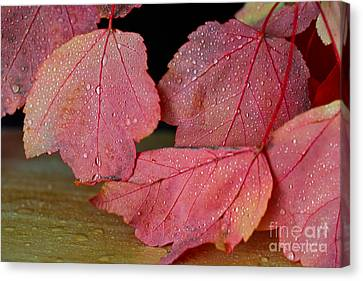 Maple Delight Canvas Print by Tracy  Hall
