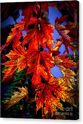 Maple Leaves Canvas Print by Robert Bales