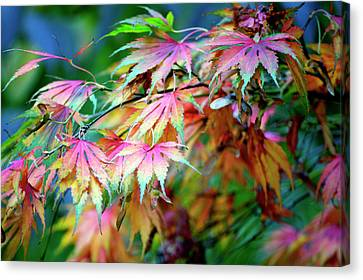 Maple Rainbow Canvas Print by Emerita Wheeling
