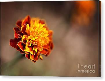 Marigold Is Golden Canvas Print by Joy Watson
