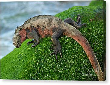 Marine Iguana On Rock Canvas Print by Sami Sarkis