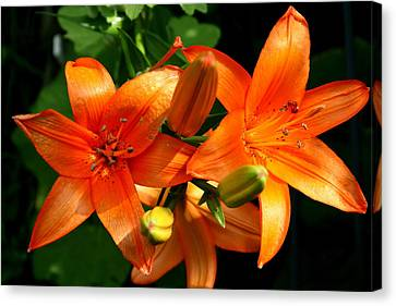 Marmalade Lilies Canvas Print by David Dunham