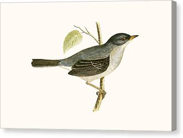 Marmora's Warbler Canvas Print by English School