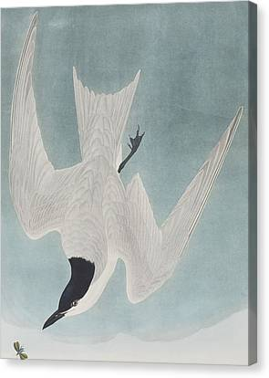 Marsh Tern Canvas Print by John James Audubon