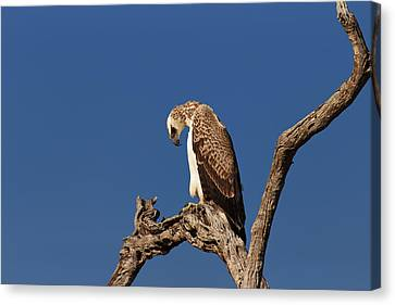 Martial Eagle Canvas Print by Johan Swanepoel