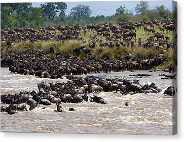 Masai Mara The Great Migration Canvas Print by Paco Feria