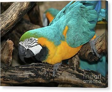 Mccaw Parrot Canvas Print by Sabrina L Ryan