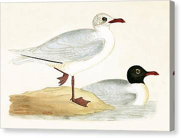 Mediterranean Black Headed Gull Canvas Print by English School