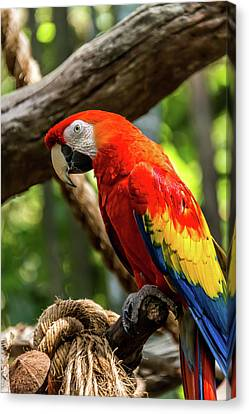 Meet The Macaws Canvas Print by Pamela Williams