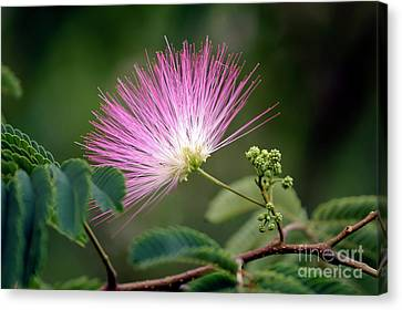Mimosa1 Canvas Print by Steven Foster