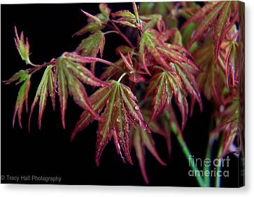 Mini Maples Canvas Print by Tracy  Hall