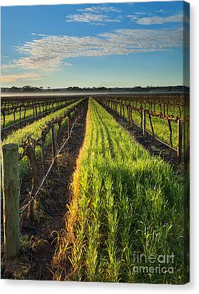 Misty Vineyard Morning Canvas Print by Mike Dawson