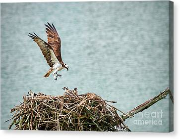 Mom Osprey Returning To Nest Canvas Print by Dan Friend