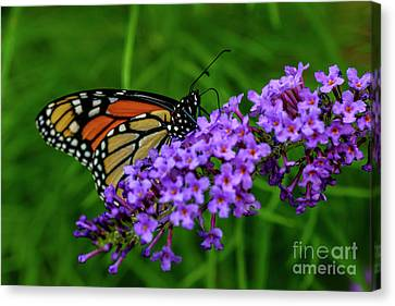 Monarch Butterfly Nectaring  Canvas Print by Thomas R Fletcher