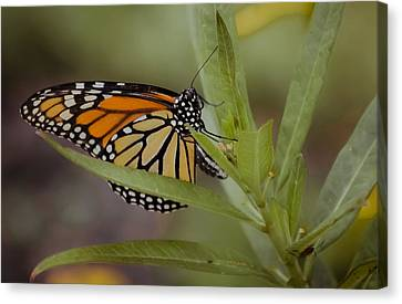 Monarch Desperation Canvas Print by DigiArt Diaries by Vicky B Fuller