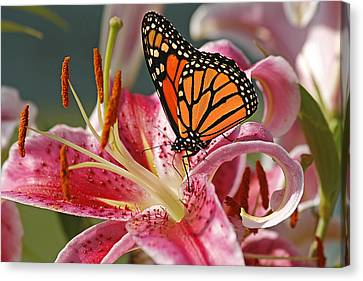 Monarch On A Stargazer Lily Canvas Print by Cindi Ressler