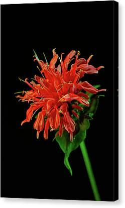 Monardia Blossom Canvas Print by Douglas Barnett