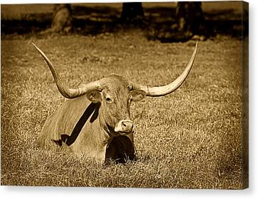 Monochrome Longhorn Cow Rsting In Grass Canvas Print by M K  Miller