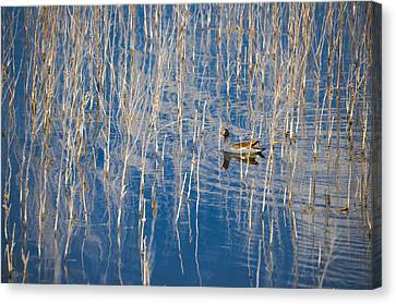 Moorhen In The Reeds Canvas Print by Carolyn Marshall