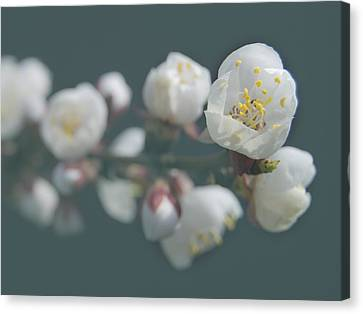 Moorpark Apricot B 4212 Canvas Print by Michael Peychich