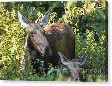 Moose - White Mountains New Hampshire  Canvas Print by Erin Paul Donovan