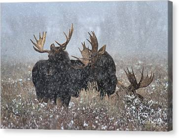 Moose Antlers In The Snow Canvas Print by Adam Jewell