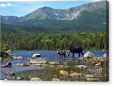 Moose Baxter State Park Maine 2 Canvas Print by Glenn Gordon