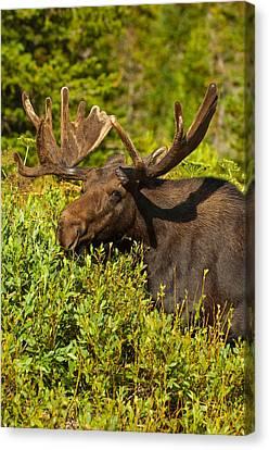 Moose Canvas Print by Sebastian Musial
