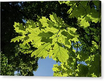 More Than Fifty Shades Of Green - Sunlit Oak And Linden Patterns - Down Left Canvas Print by Georgia Mizuleva