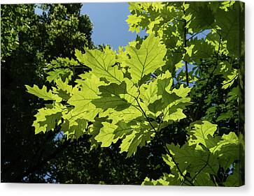 More Than Fifty Shades Of Green - Sunlit Oak And Linden Patterns - Up Right Canvas Print by Georgia Mizuleva