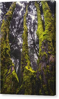 Moss Covered Tree Canvas Print by Marco Oliveira