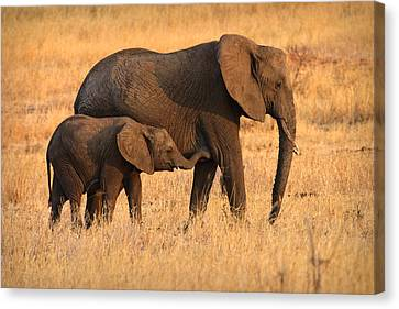 Mother And Baby Elephants Canvas Print by Adam Romanowicz