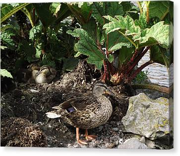 Mother And Ducklings Canvas Print by Dawn Hay