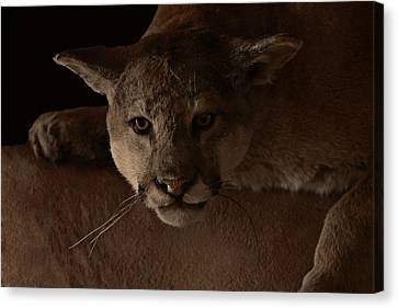 Mountain Lion A Large Graceful Cat Canvas Print by Christine Till