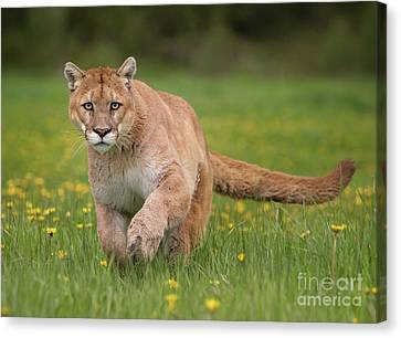 Mountain Lion's Gaze Canvas Print by Jerry Fornarotto