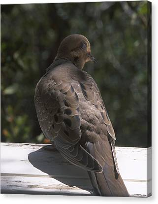 Mourning Dove - Tillie Creek Canvas Print by Soli Deo Gloria Wilderness And Wildlife Photography
