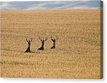 Mule Deer In Wheat Field Canvas Print by Mark Duffy
