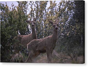 Mule Deer - Old State Rd. Canvas Print by Soli Deo Gloria Wilderness And Wildlife Photography