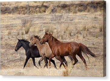 Mustang Trio Canvas Print by Mike  Dawson