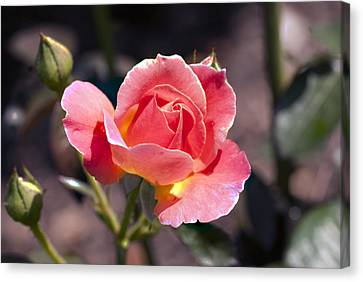My Rose Canvas Print by Don  Wright