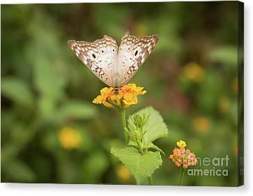 Namaste Butterfly Canvas Print by Ana V Ramirez