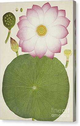 Nelumbium Speciosum Willd Canvas Print by Indian School