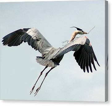 Nest Building II Canvas Print by Sandy Poore