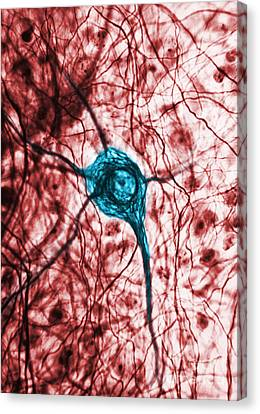 Neuron, Tem Canvas Print by Science Source